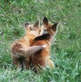 Chiots de Fox en Jackson Hole, fin de séjour du Wyoming ensemble Photographie stock