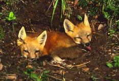 Chiots de Fox rouge au repaire image stock