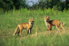 Chiots de Fox rouge par le repaire Images stock