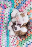Chiots de Jack Russell image stock