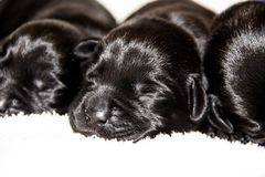 Chiots de laboratoire Photo libre de droits