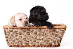 Chiots de Labrador Photos libres de droits