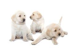 Chiots de Labrador Images libres de droits
