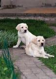 Chiots de Labrador (chien d'arrêt) Image stock