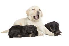 Chiots de noir de labrador retriever et de Schnauzer miniature Photos stock