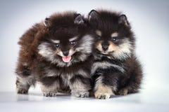 Chiots de Pomeranian Images libres de droits