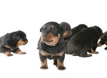 Chiots de Rottweiler Photo libre de droits