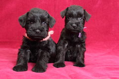 Chiots de Schnauzer miniature Photos stock