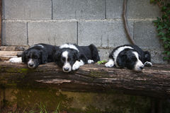 6 chiots de semaines - border collie dormant sur le banc Images stock