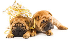 Chiots de Sharpei Photographie stock libre de droits