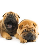 Chiots de Sharpei Photographie stock