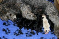 Chiots de soins de chien Image libre de droits