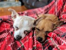 Chiots de sommeil Image libre de droits
