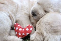 Chiots de sommeil Labrador sur l'herbe verte Image libre de droits