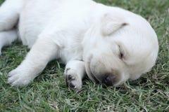 Chiots de sommeil Labrador sur l'herbe verte Photographie stock libre de droits
