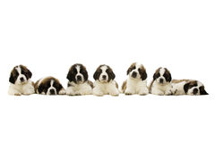 Chiots de St Bernard d'isolement sur le blanc Photo stock