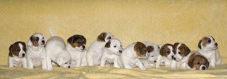 Chiots de terrier de Jack Russell Photographie stock