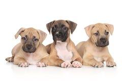 Chiots de terrier de Staffordshire américain Photographie stock