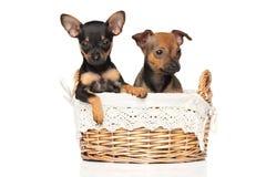 Chiots de terrier de jouet dans le panier en osier Photographie stock libre de droits