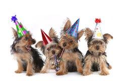 Chiots de Yorkshire Terrier de thème d'anniversaire sur le blanc Photographie stock libre de droits