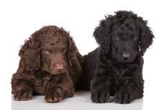 Chiots enduits bouclés de chien d'arrêt Photo libre de droits