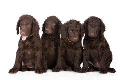 Chiots enduits bouclés de chien d'arrêt Photos libres de droits