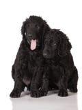 Chiots enduits bouclés de chien d'arrêt Image libre de droits