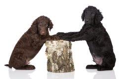Chiots enduits bouclés de chien d'arrêt Photographie stock