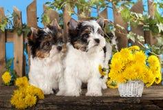 Chiots et pissenlits de fleurs Photographie stock libre de droits
