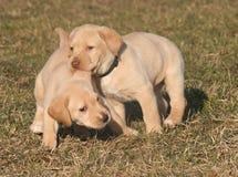Chiots jaunes de chien d'arrêt de Labrador Photos libres de droits