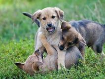 Chiots jouant sur l'herbe Photos libres de droits