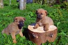 Chiots jumeaux mignons Image stock