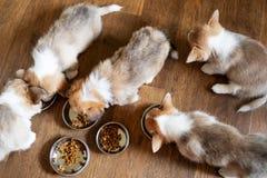 Chiots mangeant de la nourriture dans la cuisine des cuvettes Consommation mignonne de chiot Photos stock
