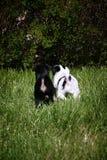 Chiots marchant dans l'herbe Photos libres de droits