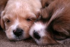 Chiots mignons Photo stock