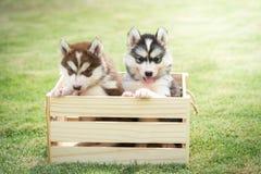 Chiots mignons de chien de traîneau sibérien payant dans la caisse en bois Photo libre de droits