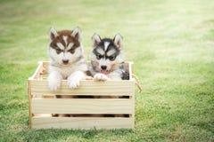 Chiots mignons de chien de traîneau sibérien payant dans la caisse en bois Image stock