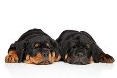 Chiots mignons de rottweiler dormant sur le blanc Photos stock
