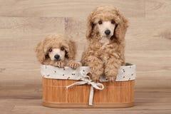 Chiots nains de caniche dans le panier Images stock