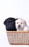 Chiots noirs et blancs Images stock