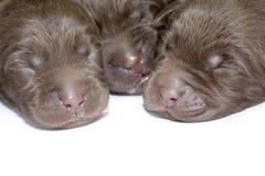 Chiots nouveau-nés Photos libres de droits