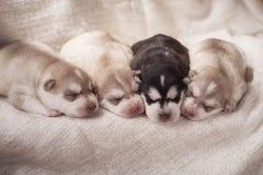 Chiots nouveau-nés de chien de traîneau sibérien Photographie stock
