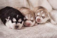 Chiots nouveau-nés de chien de traîneau sibérien Image libre de droits