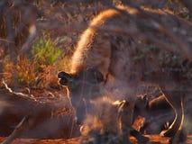 Chiots repérés d'hyène photographie stock libre de droits