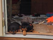 Chiots somnolents de rottweiler Images stock