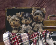 3 chiots Yorkshire Photographie stock