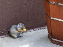 Chip and the squirrel. Little squirrel sits down and enjoys a potato chip Royalty Free Stock Photography