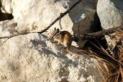 Chipmank auf den Felsen auf der Dämmerung Stockbilder