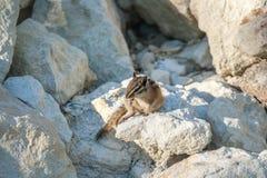 Chipmank auf den Felsen auf der Dämmerung Stockfoto