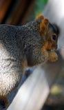 Chipmonk που τρώει ένα acrorn Στοκ Φωτογραφίες
